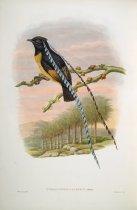 Image of Pteridohora Alberti, Meyer