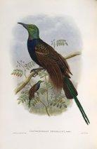 Image of Ianthothorax Benzbachi, Büttik