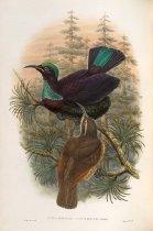 Image of Ptilorhis Victoriae