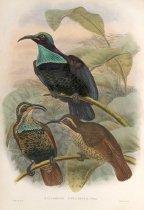 Image of Ptilorhis Paradisea