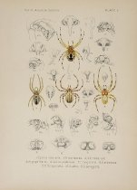 Image of Library QL457.1 .M25 - American spiders and their spinningwork. : A natural history of the orbweaving spiders of the United States, with special regard to their industry and habits.