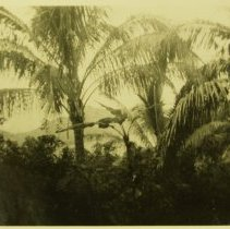 Image of Troia-Palm trees - Print, Photographic