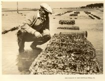 Image of Print, Photographic - Oyster lab assistant, George Lemuth, studying oysters probably at Cape Shore (?) facility, Cape May County, NJ.  