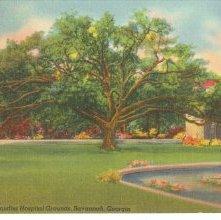 Image of 1121-057_0484 - Old Oak in Candler Hospital Grounds, Savannah, Ga.