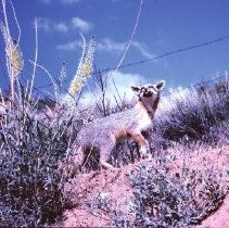 Image of Picture - Fox on Utah Hill - Picture - Kit Fox on Utah Hill