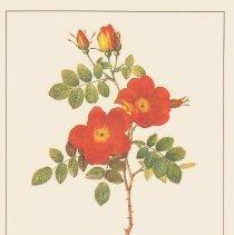 Image of Rosa Eglanteria var. punicea - Rosier Eglantier var. couleur ponceau