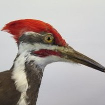 Image of WOODPECKER, PILEATED - Dryocopus pileatus