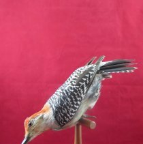 Image of WOODPECKER, RED-BELLIED - Melanerpes carolinus