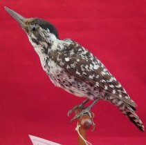 Image of WOODPECKER, LADDER-BACKED - Picoides scalaris
