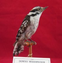 Image of WOODPECKER, DOWNY - Picoides pubescens