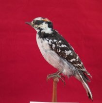 Image of WOODPECKER, HAIRY - Picoides villosus