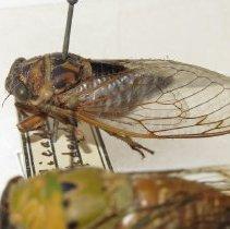 Image of 17 Year Locust - Cicada SEPDENDICUM