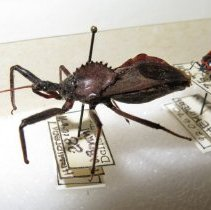 Image of ASSISSIN OR WHEEL BUG - True Bugs
