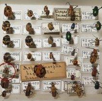 Image of 12 SPOTD CUCUMBER BEETLE - undecimpunctata