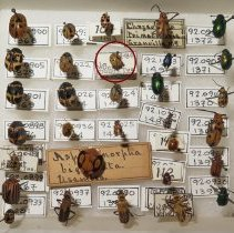 Image of 10 SPOTTED LADY BUG - Beetles