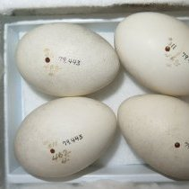 Image of Eggs - 79.443.159