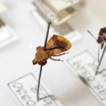 Image of AMBUSH BUG - True Bugs