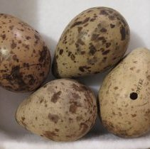 Image of Eggs - 79.132
