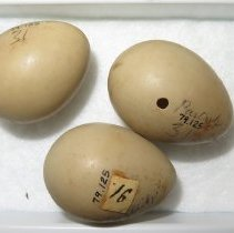 Image of Eggs - 79.125