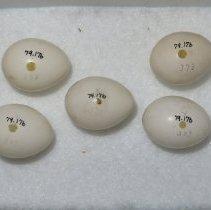 Image of WOODPECKER, GOLDEN-FRONTED - Melanerpes aurifrons
