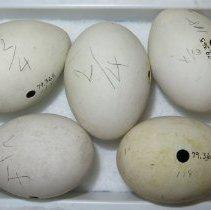 Image of ANHINGA - Anhinga anhinga