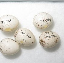 Image of Eggs - 79.389