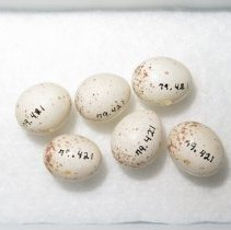 Image of Eggs - 79.421