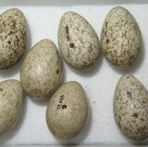 Image of Eggs - 79.688