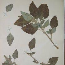 Image of AMARANTH, GREEN - Amaranthus retroflexus L.
