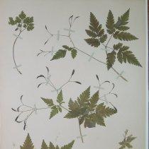 Image of ANISE-ROOT - Osmorhiza longistylis (Torr.)  DC.