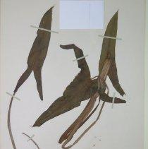 Image of ARROWLEAF - Peltandra virginica L.