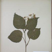 Image of ASTER, BIGLEAF - Aster macrophyllus L.