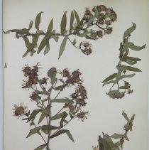 Image of ASTER, NEW ENGLAND - Aster novae-angliae L.