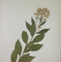 Image of ASTER, MOUNTAIN - Aster acuminatus Michx.