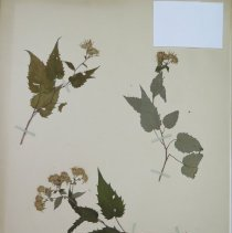 Image of ASTER, WHITE WOOD - Aster divaricatus, L.