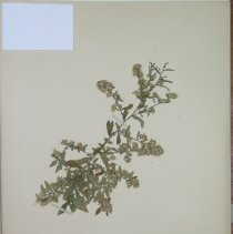 Image of ASTER, SMALL WHITE - Aster racemosus Ell.