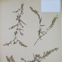 Image of ASTER, CALICO - Aster lateriflorus (L.) Britton