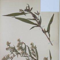 Image of ASTER, TALL WHITE - Aster lanceolatus Willd.