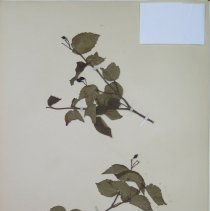 Image of ARROWOOD, DOWNY - Viburnum rafinesquianum Schultes