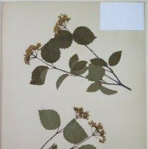 Image of ARROWWOOD - Viburnum recognitum Fern.