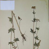 Image of ALEXANDERS, GOLDEN - Zizia aurea (L.) Koch
