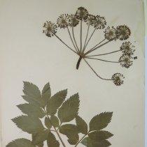 Image of ANGELICA, ALEXANDERS PURPLE-STEM - Angelica atropurpurea L.