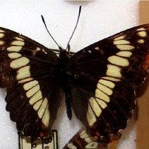 Image of ADMIRAL, LORQUIN'S - Limenitis lorquinii