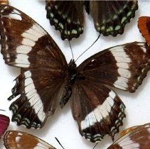 Image of the Banded Purple Butterfly - Basilarchia arthemis