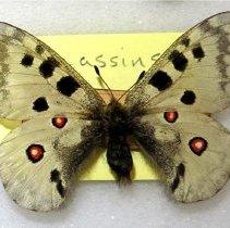 Image of APOLLO - Parnassius apollo