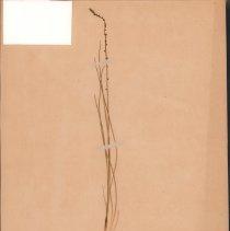 Image of ARROW-GRASS - Triglochin palustre L.