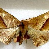 Image of Barrania amethylata