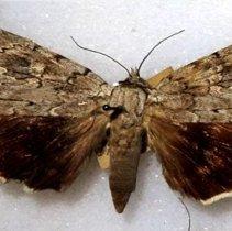 Image of Catocala robinson