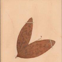 Image of ADDERS-TONGUE, CALIFORNIA - Scoliopus bigevolii Torrey