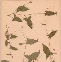 Image of ARROWLEAF - Polygonum arifolium L.